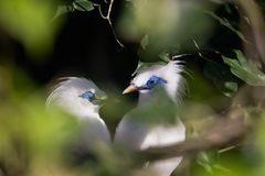 Peach-faced Lovebird. Under tree Stock Image