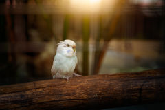 Peach-faced lovebird. On wood Royalty Free Stock Photography