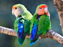 Peach-faced Lovebirds Stock Photo