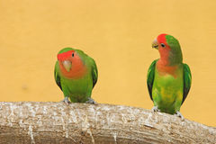 Peach faced lovebirds (Agapornis roseicollis) Royalty Free Stock Photography