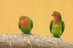 Peach faced lovebirds (Agapornis roseicollis). Peach faced lovebirds, shallow depth of field Royalty Free Stock Photography
