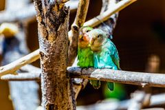 Peach-faced Lovebirds parrots. Siting on wooden perch in zoo Stock Image