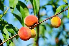 Peach farm. A modern peach farm in USA. green onion royalty free stock photos
