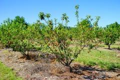 Peach farm Stock Images