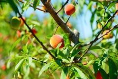 Peach farm Royalty Free Stock Photo
