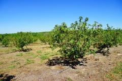 Peach farm Stock Photography