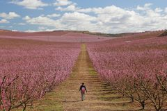 Peach fields in pink royalty free stock image