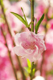 Peach flower. Pink peach flower closeup in a sunny day Royalty Free Stock Photo