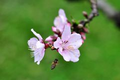 Peach flower. In Canton, China Royalty Free Stock Photography