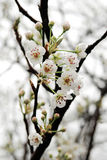 Peach flower Royalty Free Stock Images