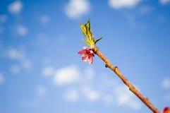 Peach flower. Brunch of peach flower and sky royalty free stock photos