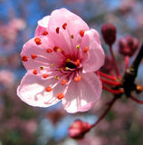Peach flower Stock Image