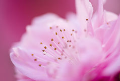 Peach flower Royalty Free Stock Photos