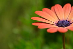 Peach flower Daisy Royalty Free Stock Images