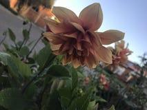 Peach flower Royalty Free Stock Image
