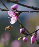 Peach flower and bee Stock Photos