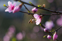 Peach flower and bee Stock Images
