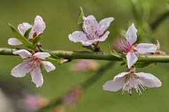 Peach flower in bloom. On tree Stock Images