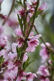 Peach flower in bloom. On tree Royalty Free Stock Photo