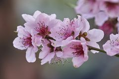 Peach flower in bloom. On tree Royalty Free Stock Photography