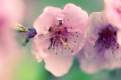 Peach in bloom Stock Photo
