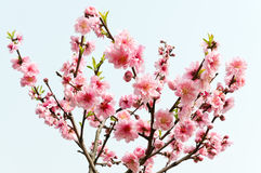 Peach flower bloomin Royalty Free Stock Images