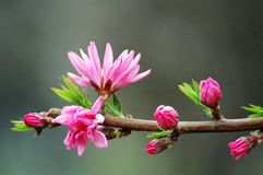 Peach flower blooming Royalty Free Stock Image