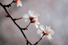Peach flower Royalty Free Stock Photography