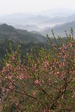 Peach flower blossom in Chinese mountains Royalty Free Stock Photo