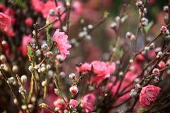 Peach flower blossom Stock Photography