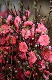 Peach flower blossom Stock Photos