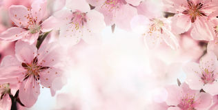 Peach flower blossom Royalty Free Stock Photography