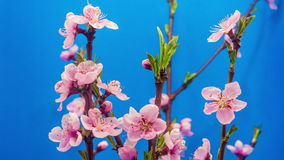 Peach flower blossoming time lapse stock video