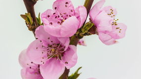 Peach flower blossoming time lapse stock video footage