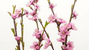 Peach flower blossoming time lapse stock footage