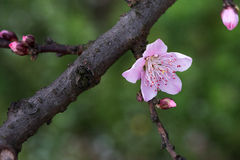 Peach flower and branch. When spring comes, the peach trees blossomed and brilliantly in the orchard under blue sky and white cloud.This one corner of a peach Royalty Free Stock Photography