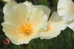 Peach flower. Peach cloudy flower, subtle and sweet Royalty Free Stock Photos