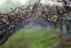 Peach flower forest Stock Photography