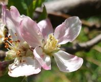 Peach flower opens. The peach flower opens with its light pink color and white bristles with pink grain, and the flower will change with a peach fruit that is stock photography