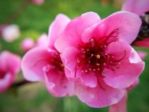 Peach flower. Pink peach flower in plant Royalty Free Stock Photography