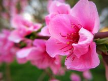 Peach flower. Pink peach flower in plant Royalty Free Stock Images