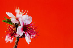 Peach Flower. On Red Background Stock Photos