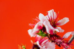 Peach Flower. On Red Background Stock Photo