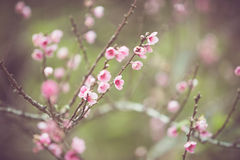 Peach flower Spring Blossom Stock Photos