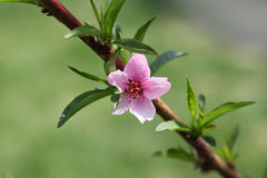 Peach Flower Royalty Free Stock Image