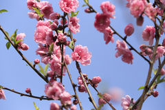 Peach flower spring Royalty Free Stock Photography