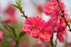 Peach flower on tree. Peach flower is symbol of Vietnamese Lunar New Year - Tet holidays in north of Vietnam.  stock photo