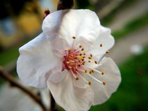 Peach flower. White peach flower in nature Royalty Free Stock Photo