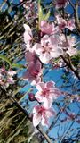 Peach flower stock images