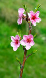 Peach flowering. Royalty Free Stock Images